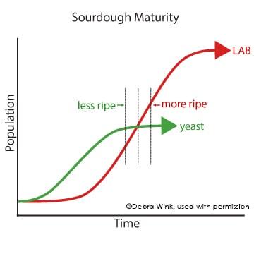 Sourdough Maturity 1 eng